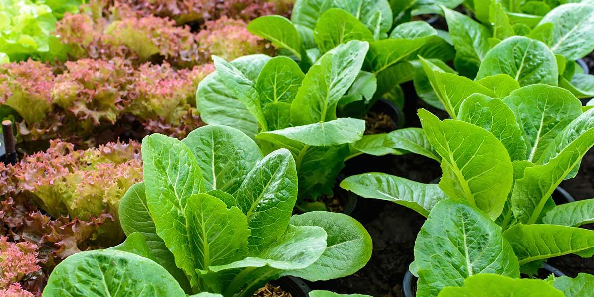 organic path success story lettuce growing in field